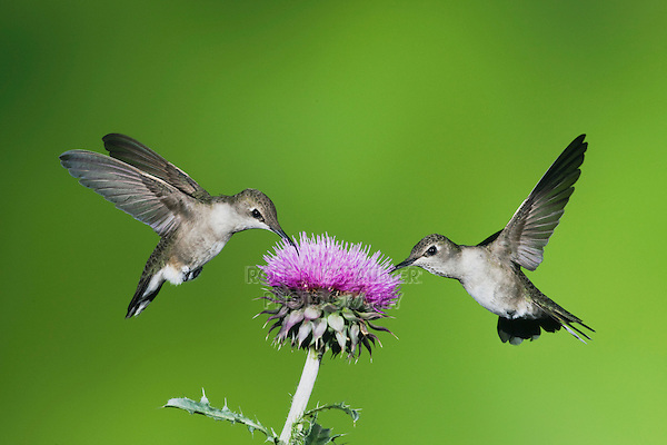 Black-chinned Hummingbird (Archilochus alexandri), females feeding on Texas thistle (Cirsium texanum), Sinton, Corpus Christi, Coastal Bend, Texas, USA