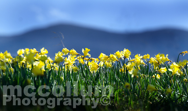 Michael McCollum<br /> 2/25/17<br /> Daffodils blooming in Cades Cove, Blue Ridge Mountains, Great Smoky National Park Tennessee.