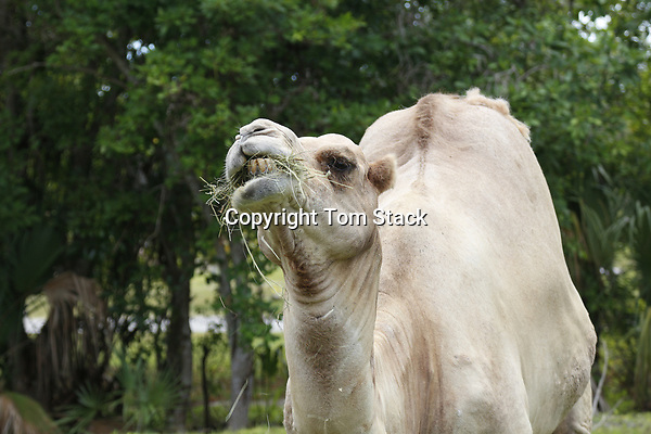 A Bactrian camel, Camelus bactrianus, feeding in a zoo.