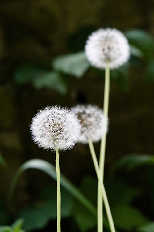 Seed heads of common dandelion (Taraxacum officinale), mid May.