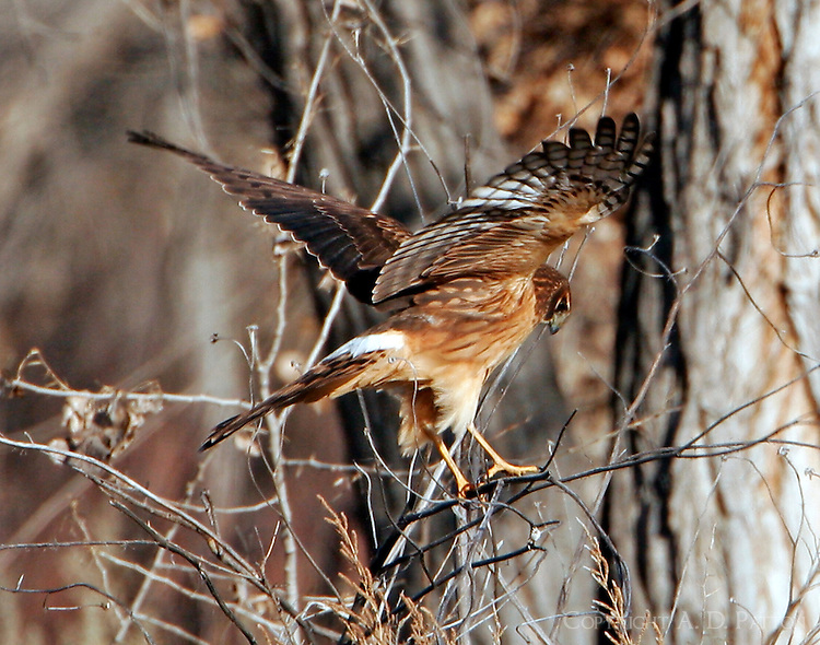 Adult female northern harrier with outstretched wings in tree