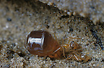Replete Honey Ant (Myrmecocystus melliger) and a normal worker, Antioch, California, USA.