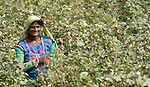 Pakistani woman picking cotton in Mirpurkhas, Sindh. This area has long been plagued by huge landowners forcing poor families into slavery.