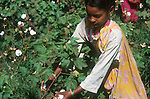 INDIA Madhya Pradesh, girl harvest cotton at farm / INDIEN Madhya Pradesh, Kinder pfluecken Baumwolle auf einer Farm