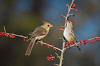 northern cardinal, Cardinalis cardinalis, female, and White-crowned Sparrow, Zonotrichia leucophrys, eating meadow holly berries, Ilex decidua, Bandera, Hill Country, Texas, USA, North America