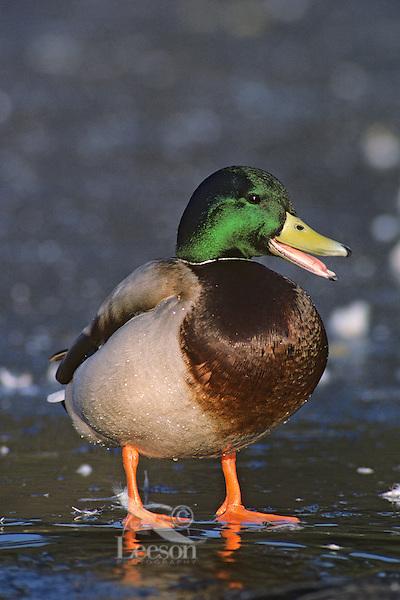 Mallard duck drake standing on frozen pond.