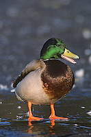 Mallard duck drake standing on frozen pond.