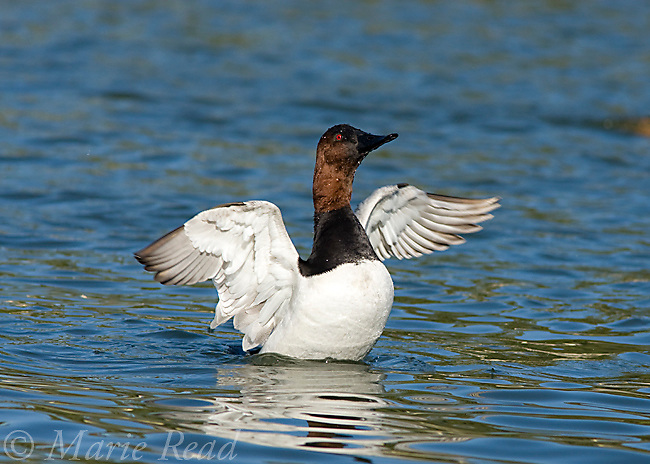 Canvasback (Aythya valisineria), male flapping wings after bathing, California, USA