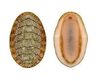 Chiton - Lepidochitona cinerea