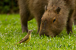 Capybara (Hydrochoerus hydrochaeris) sub-adult grazing with Cattle Tyrant (Machetornis rixosa) foraging for insects, Ibera Provincial Reserve, Ibera Wetlands, Argentina