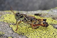 Nordische Gebirgsschrecke, Melanoplus frigidus, Bohemanella frigida, Nordic Mountain Grasshopper, High Mountain Grasshopper