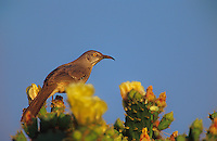 581990070 a wild curve-billed thrasher songbird toxostoma curvirostre perches on a flowering opuntia succulent plant in the rio grande valley south texas