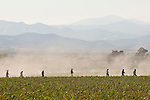 Workers packing their buckets, walk back to their cars at the end of work in the fields for the day, Santa Lucia Range on the horizon. Organic red bell pepper harvest near San Lucas, in the Salinas Valley of California..