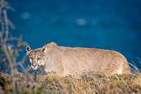 """Big Cats can be very intense. Many of them are ambush predators. Even the speedsters, though, need to sneak up close enough to their prey to launch a strike. This wild female Puma (Puma concolor) takes the """"stalk and chase"""" approach. Pumas are fast - they can reach speeds of 40-50 mph in sprint mode. This cat had already eaten earlier in the day and she was patrolling the lake shore. Pumas are also opportunistic hunters so you never know where a sighting will take you."""