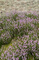 Besenheide, Heidekraut, Heide, Calluna vulgaris, Ling, Scots Heather, heather, common heather, Callune, Bruyère commune