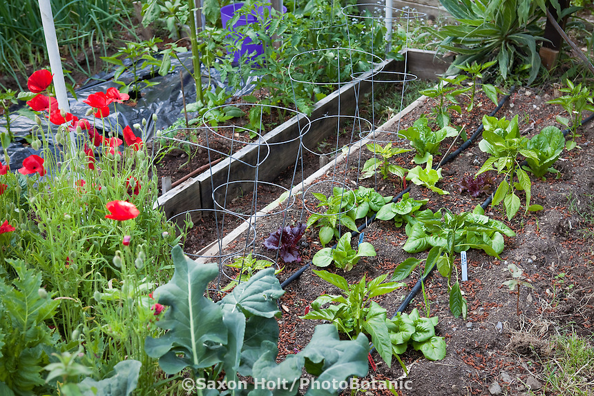 """Raised bed intensive organic vegetable garden with lettuces between wire support cages for peppers and drip irrigation lines; MUST CREDIT """"From the garden of Elvin Bishop""""."""