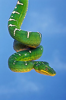 Emerald Tree Boa (Corallus caninus) is a non-venomous snake found in the rainforests of the Amazon Basin, South America.