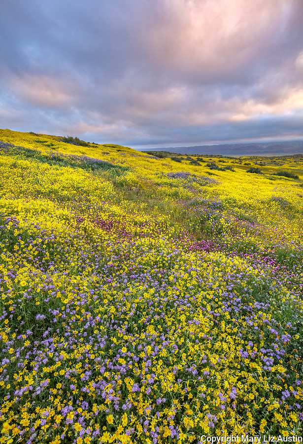 Carrizo Plain National Monument, CA: Hillside of yellow flowering monolopia, purple flowering phacelia and owl's-clover with sunrise clouds over the Temblor Range.