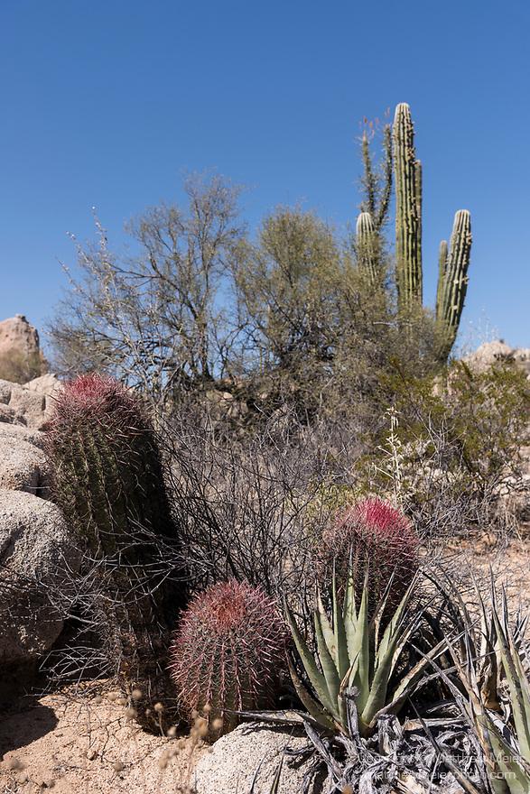 Catavina, Baja California, Mexico; three red cactus in the desert landscape