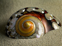 Close up of Turbo Semanticus sea shell.