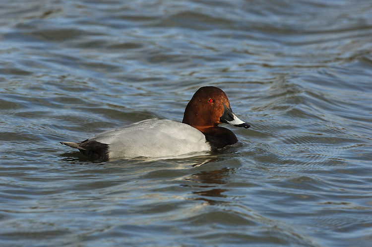 Pochard (male) Aythya ferina L 42-49cm. Distinctive diving duck with long bill, curving forehead and peaked crown. Gregarious in winter, often with Tufted Ducks. Both sexes have dark bill with pale grey band. In flight, all birds have uniform grey wings with dark trailing edge to outer flight feathers. Sexes are dissimilar in other regards. Adult male has reddish orange head, black breast, finely marked grey flanks and back, and black stern. In eclipse, black elements of plumage are sooty brown. Adult female has brown head and breast, grey-brown back and flanks, and pale 'spectacle'. Juvenile resembles adult female but plumage is more uniformly brown. Voice Mostly silent. Status Scarce breeder but locally common in winter: migrants arrive from mainland Europe. Favours flooded gravel pits, reservoirs and lakes.