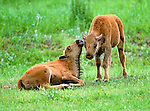 Bison calves nuzzle each other, Jefferson County, Colorado