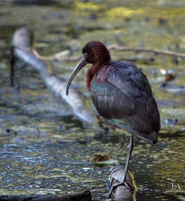 Glossy Ibis wading in Martling's Pond, Staten Island