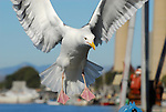Western gull landing. Morro Bay, CA