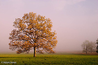 Tree in foggy meadow<br /> Cades Cove<br /> Great Smoky Mountains N.P. TN<br /> Tree in foggy meadow<br /> Cades Cove<br /> Great Smoky Mountains N.P. TN