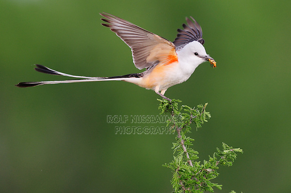 Scissor-tailed Flycatcher (Tyrannus forficatus), adult male landing on perch with beetle prey, Laredo, Webb County, South Texas, USA