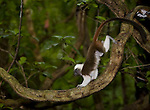 Cotton-top tamarin on hind legs in the dry tropical forests of Colombia (never observed behavior).