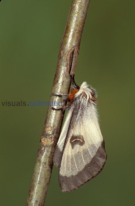 Nevada Buckmoth (Hemileuca nevadensis), Family Saturniidae, Colorado, USA.