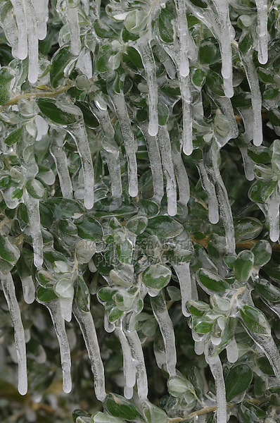 Texas Mountain Laurel, Sophora secundiflora, plant covered in ice after ice storm, New Braunfels, Texas, USA, March 2006