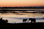 Elephants along the Chobe River at Sunset, Botswana.