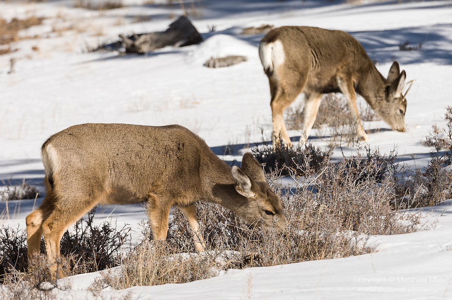 Bryce Canyon National Park, Utah; a female and young male Mule Deer (Odocoileus hemionus) grazing on grasses exposed through the snow in winter