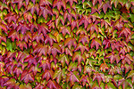 Boston Ivy, Parthenocissus tricuspidata Veitchii, Mill Valley, Marin County, California