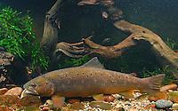 Bachforelle, Steinforelle, Forelle, Salmo trutta fario, brook trout, omble de fontaine
