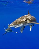 oceanic whitetip sharks, Carcharhinus longimanus, Kona Coast, Big Island, Hawaii, USA, Pacific Ocean