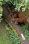 Woodland park zoo male orangutan eating celery and other greens in his forest habitat Seattle, Washington State USA