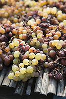 Europe/France/Midi-Pyrénées/81/Tarn/ Cahuzac-sur-Vère: Les raisins de cépage Ondenc  lors du passerillage serviront à préparer le Vin d'Autan chez Robert et Bernard Plageoles viticulteurs au Domaine de Tres Cantous