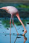 American Flamingo, Galapagos Islands