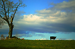 Sky Tree Field Cow, large files