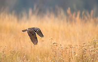 """A Northern Hawk Owl flies just above ground immediately after diving from a high perch and will eventually climb to a new high perch.  Northern Hawk Owl are easy to see when hunting from high perches, but disappear as they drop and follow their """"U"""" shaped flight pattern."""