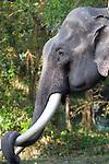 Asian Elephant, Elephas maximus, Kaziranga National Park, Assam, India, World Heritage & IUCN Category II Site, domestic, face, portrait, eye, resting trunk on tusk.India....