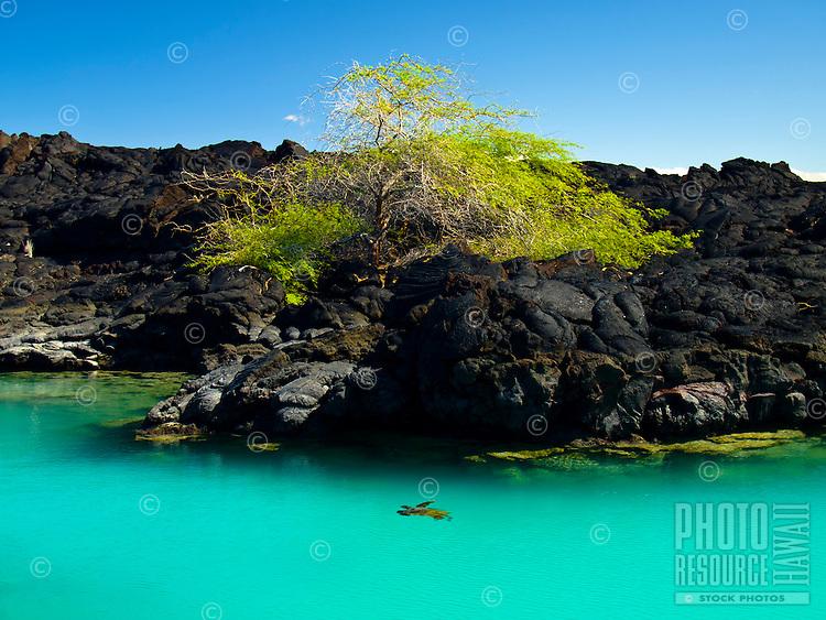 A single turtle swims along the rocks of Kiholo Bay on the Big Island.