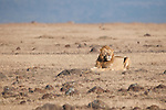 A male lion rests on the Maasai Mara plains in Kenya.