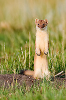 Long tailed weasel stands up while hunting in a field