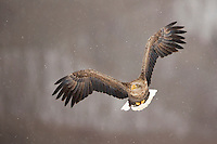 White tailed Eagle (Haliaeetus albicilla) in flight, Rausu, Japan, February 2015