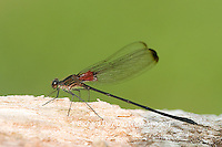 06016-001.02 Smoky Rubyspot (Hetaerina titia) male, Little Wabash River, Clay Co.  IL