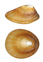 Blue-rayed Limpet - Helcion pellucida